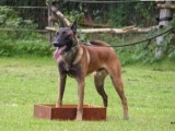 佛山哪里有卖马犬的 佛山马犬的价格 马犬的图片