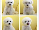 犬舍直销售精品法国卷毛比熊幼犬 健康质保终身上门签协议