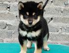 哪里有卖柴犬柴犬多少钱柴犬图片柴犬幼犬