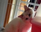 实体店正品布偶猫玳瑁双蓝色海豹宠物猫活体仙女猫