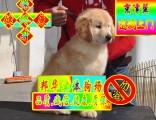 可签订协议 正规狗场繁殖 可看狗父母 金毛犬