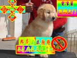可簽訂協議 正規狗場繁殖 可看狗父母 金毛犬
