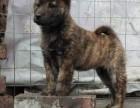 纯种土猎犬多少钱专业售后服务 全国出售