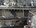 肉兔养殖,鲁祥兔业