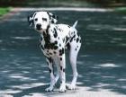 赛级斑点狗 高品质大麦町犬 质保健康