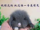 長期出售各類精品寵物兔荷蘭垂耳兔蓋臉貓貓兔侏儒兔道奇等送貨上