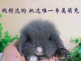 长期出售各类精品宠物兔荷兰垂耳兔盖脸猫猫兔侏儒兔道奇等送货上
