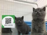柳州在哪里卖健康纯种宠物猫 柳州哪里出售蓝猫