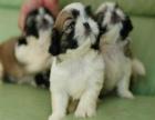 哪里有卖西施犬的 西施多少钱一只 西施好养吗