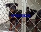 三个月莱州红犬多少钱,哪里出售莱州红犬幼犬,多少钱一只苏联红
