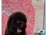 纯种赛级茶杯泰迪犬 红色泰迪幼犬出售玩具泰迪带证书