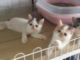 出售加菲猫2窝8只