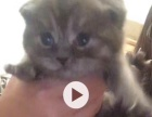 出售自家大猫生的小猫