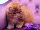 加菲猫猫舍直销 水滴眼眼鼻一线 纯种股票 幼猫异短