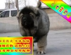 高加索**看家护院犬种 高大威猛 威慑力十足