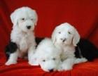 西安精品宠物繁殖基地长期出售古牧幼犬 保证品质健康