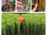 恐龙蛋李子苗种植几年结果李子苗种植当年管理