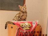 纯种豹猫 包纯种包健康包血统
