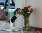 上海哪里有巴吉度猎犬卖 泰迪金毛哈士奇秋田博美阿拉多少钱价格