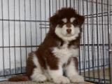 售纯种阿拉斯加犬幼犬疫苗做齐纯种健康签协议