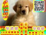 最专业犬舍繁殖金毛犬 狗场繁殖买的有保障 签协议