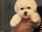 自家精品棉花糖小体比熊,保证健康,欢迎来家看狗狗