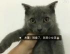 纯种英国短毛蓝猫