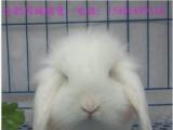 出售纯白和紫灰荷兰垂耳兔