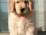 售金毛导盲犬忠诚可爱的金毛犬聪明伶俐金忠犬