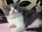 杭州哪里有英短猫卖 专业繁殖 公母均有 包纯种包健康