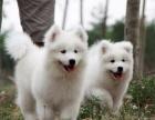 本地犬舍出售微笑天使萨摩耶宝宝 上海萨摩耶多少钱