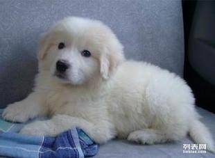 给家里一窝纯种大白熊宝宝500一个找好心人,喜欢的联系我