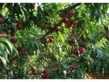 永莲蜜桃苗批发价格 品种好的一边倒苗木价格怎么样