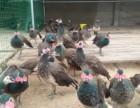 专业养殖孔雀鸵鸟黑天鹅养殖场