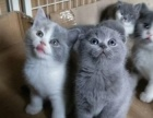 六个月英短蓝猫苏格兰折耳猫种公短毛猫三花蓝白英短