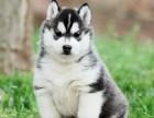 大连哈士奇多少钱一只 哈士奇幼犬出售 黑白色哈士奇