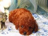 泰安哪有泰迪犬卖 泰安泰迪犬价格 泰安泰迪犬多少钱
