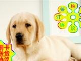 签订活体协议——拉布拉多幼犬——正规狗场 实物拍摄