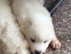 出售家养公萨摩幼犬