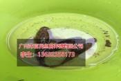 湖南黑鱼苗|供应各种规格鱼苗