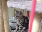 出售虎斑二只成年的二只幼猫