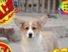 威尔士柯基犬 可爱小短腿包纯种包健康 可签协议