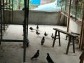 个人喂养的鸽子出售鸽蛋 鸽子