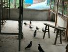 個人喂養的鴿子出售鴿蛋 鴿子