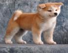 秋田犬 常年销售 包细小犬瘟冠状 包防疫包纯种