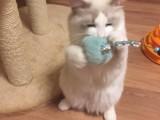 银川哪里有卖布偶猫 纯种布偶猫价位多少