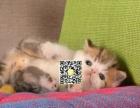 CFA猫舍 出售多只高品质赛级波斯猫带绿纸