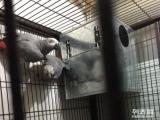 大绯 小绯 灰鹦鹉种鸟