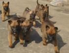 纯种血统马犬 cku认证 马犬养殖基地 马犬价格