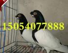 两头乌鸽子 短嘴两头乌鸽子价格 精品观赏鸽种鸽出售